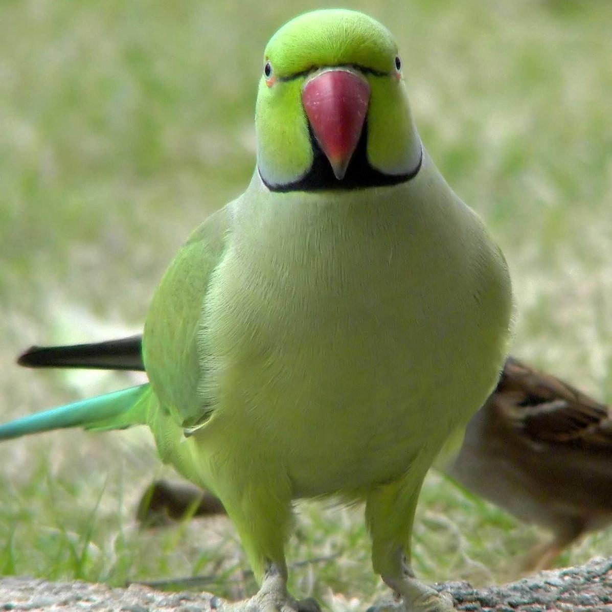 Олександрві кільчасті папуги