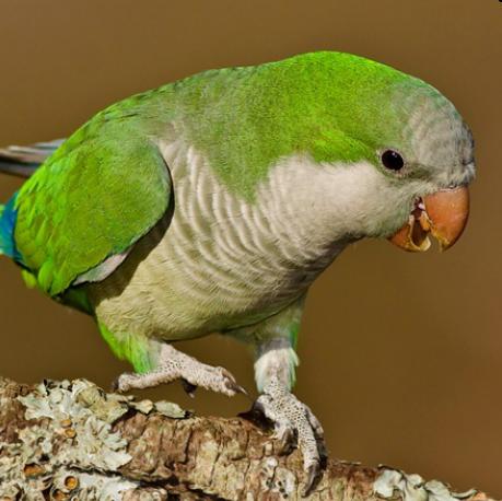 Папуги калита