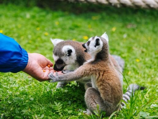 Lemur katta — contact zoo Animal Park