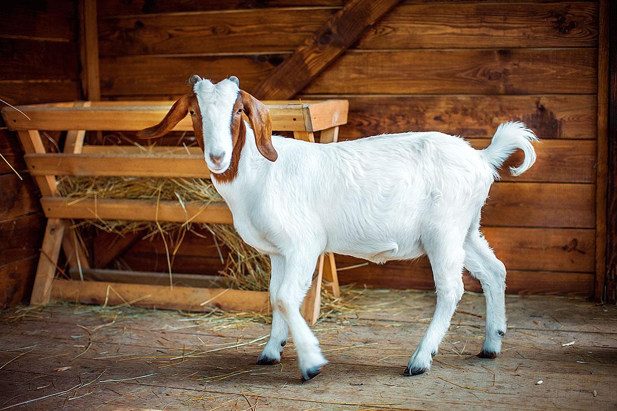 Бурські кози - контактний зоопарк Animal Park