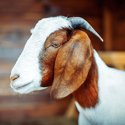 Бурські кози