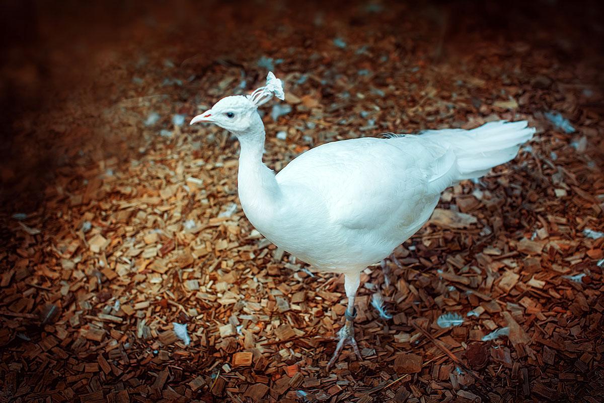 Белый павлин — контактный зоопарк Animal Park