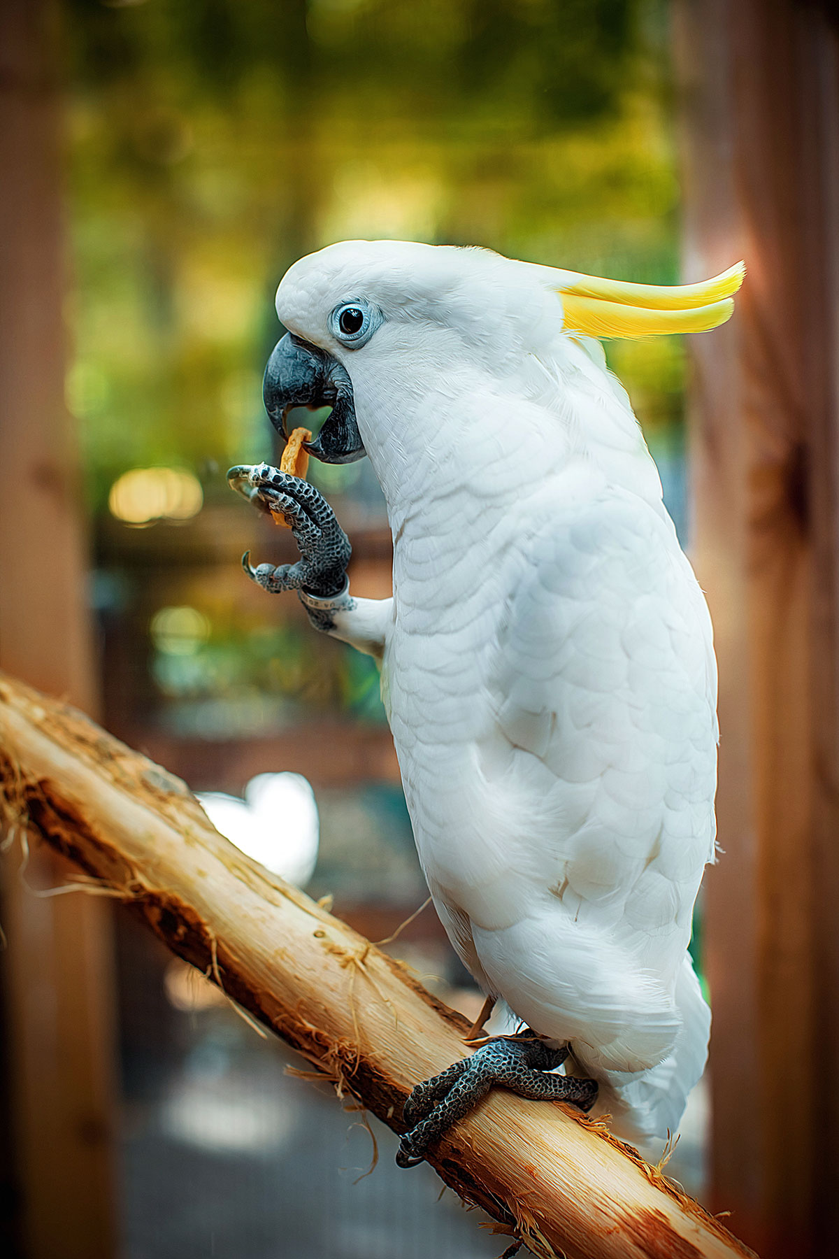 Желтохохлый какаду — контактный зоопарк Animal Park