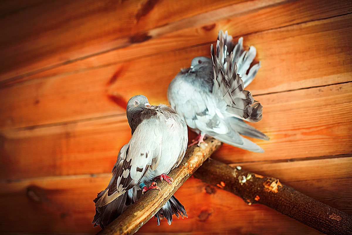 Голуби павлины — контактный зоопарк Animal Park