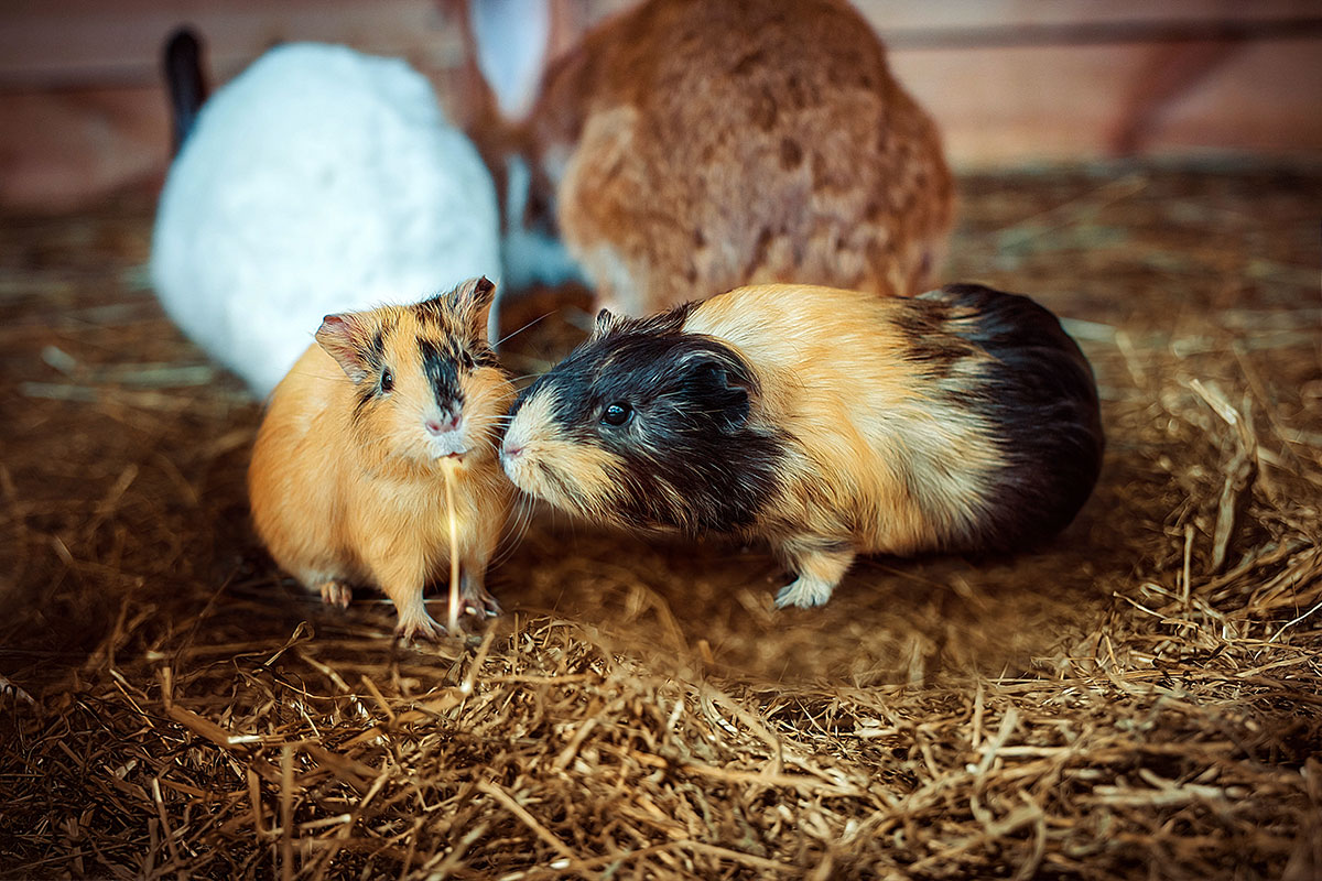 Морська свинка — контактний зоопарк Animal Park