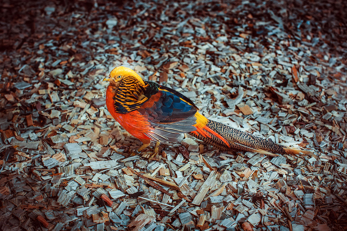 A Golden Pheasant — contact zoo Animal Park