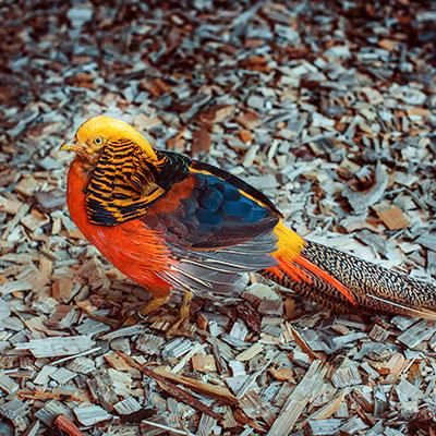 Золотистый (золотой) фазан