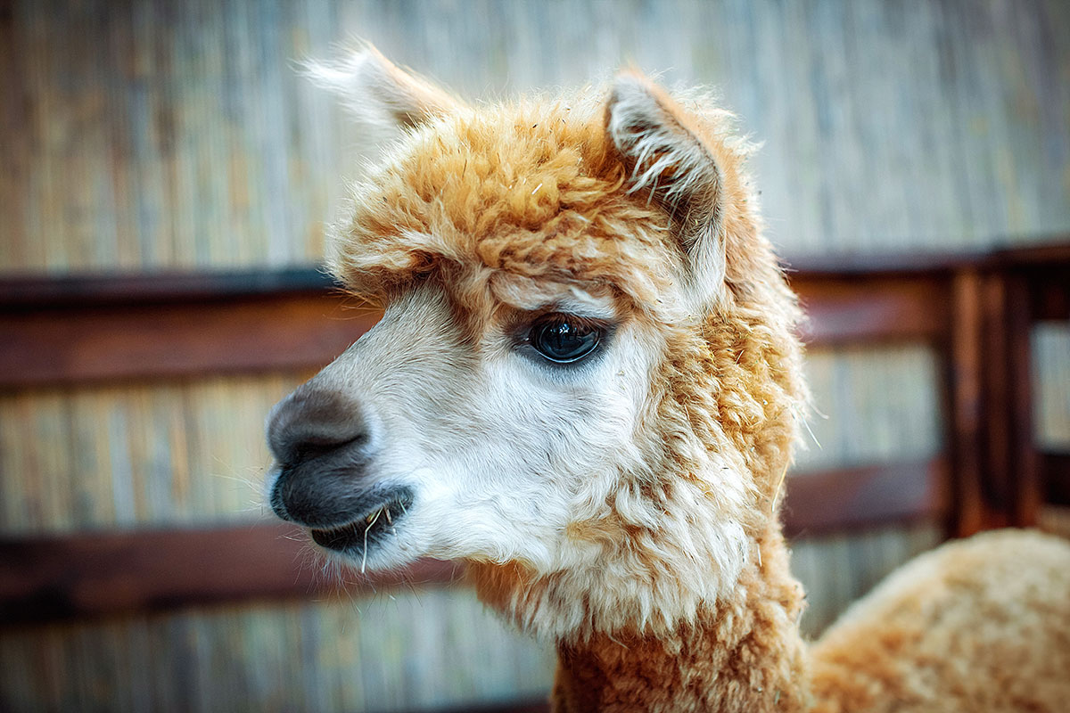 Alpaca — contact zoo Animal Park