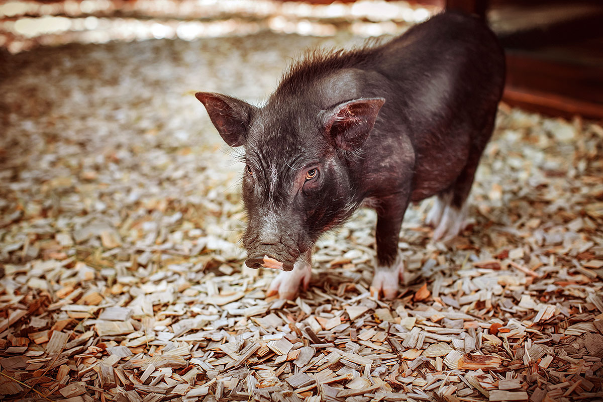 Vietnamese pigs — contact zoo Animal Park