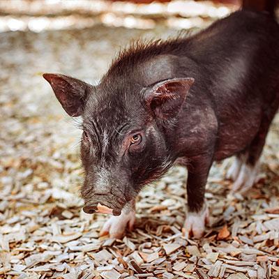 Свиньи вьетнамские