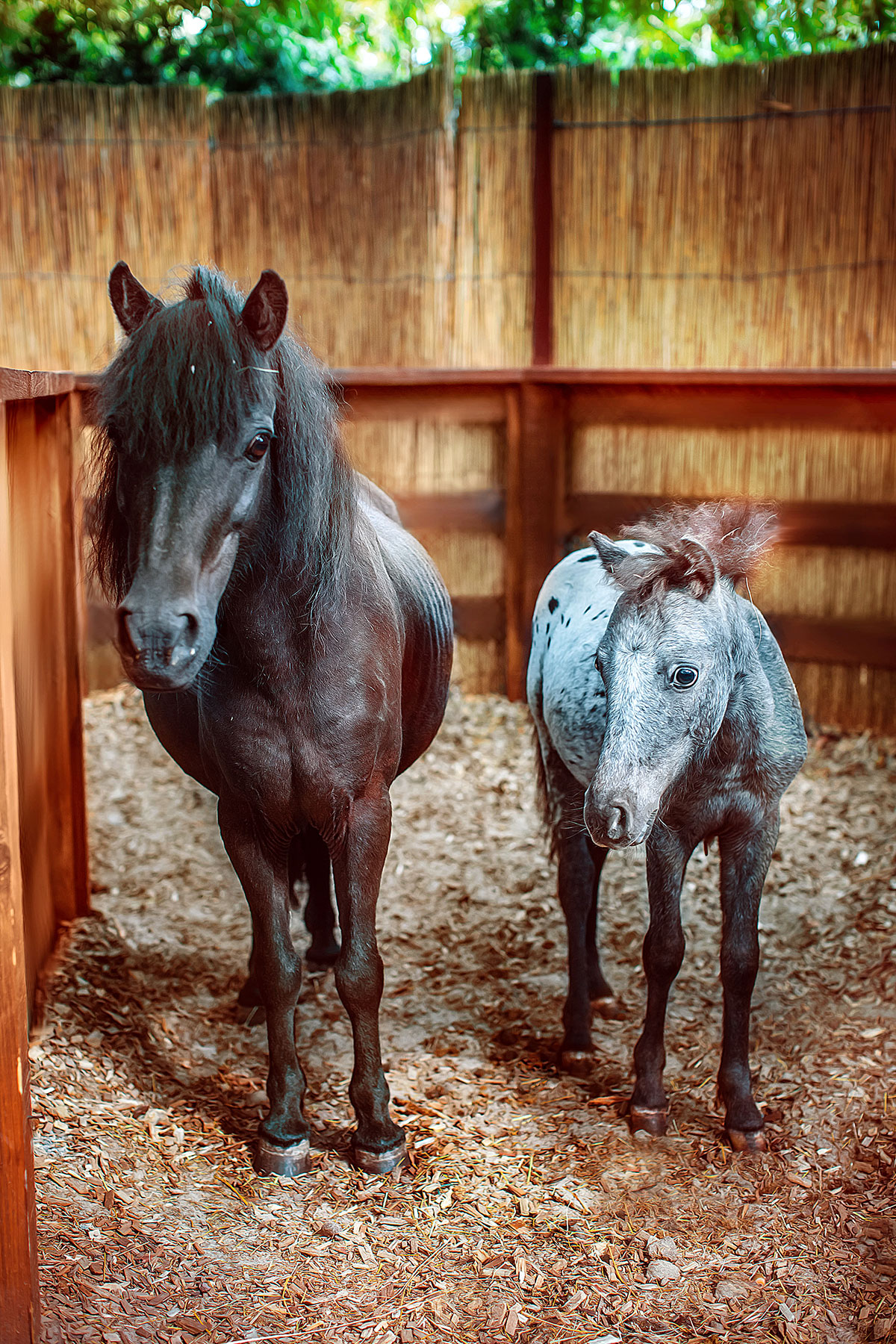 Scottish ponies — contact zoo Animal Park