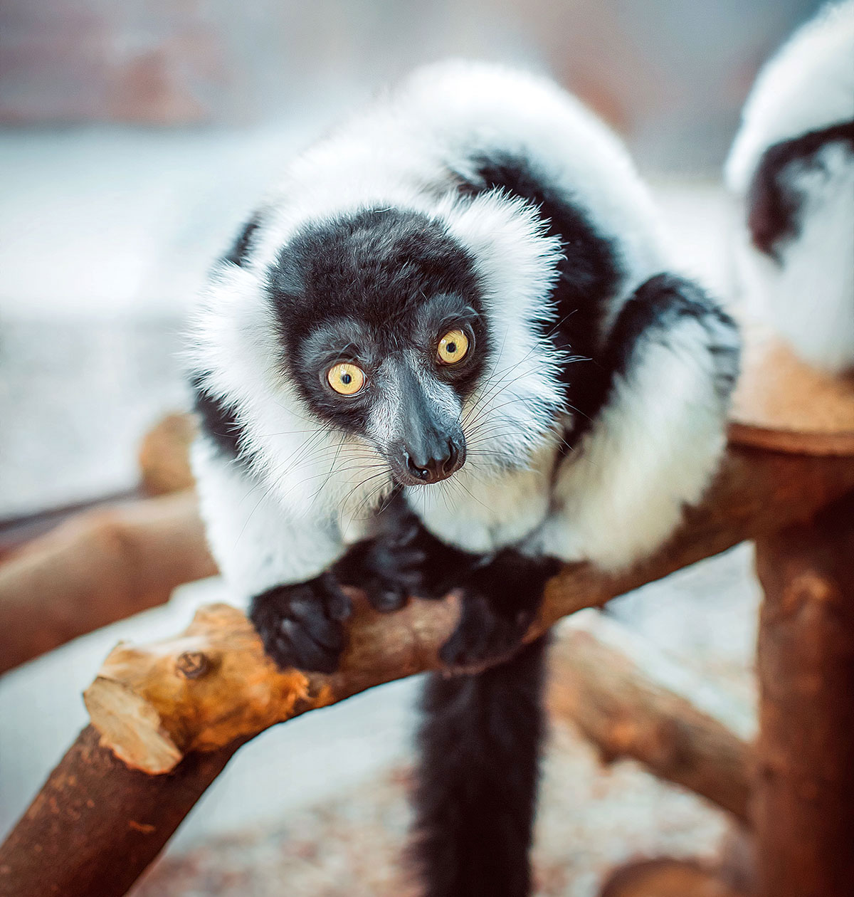 Black and white ruffed lemur — contact zoo Animal Park