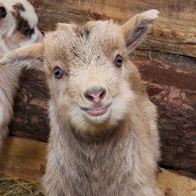 Cameroon goat