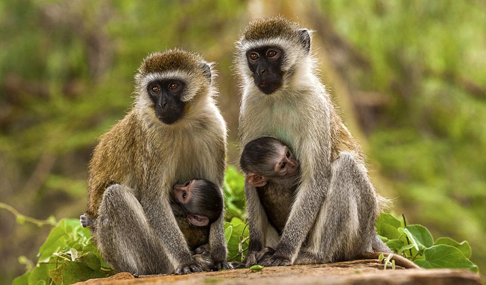 Animal Park — Зелена мавпа