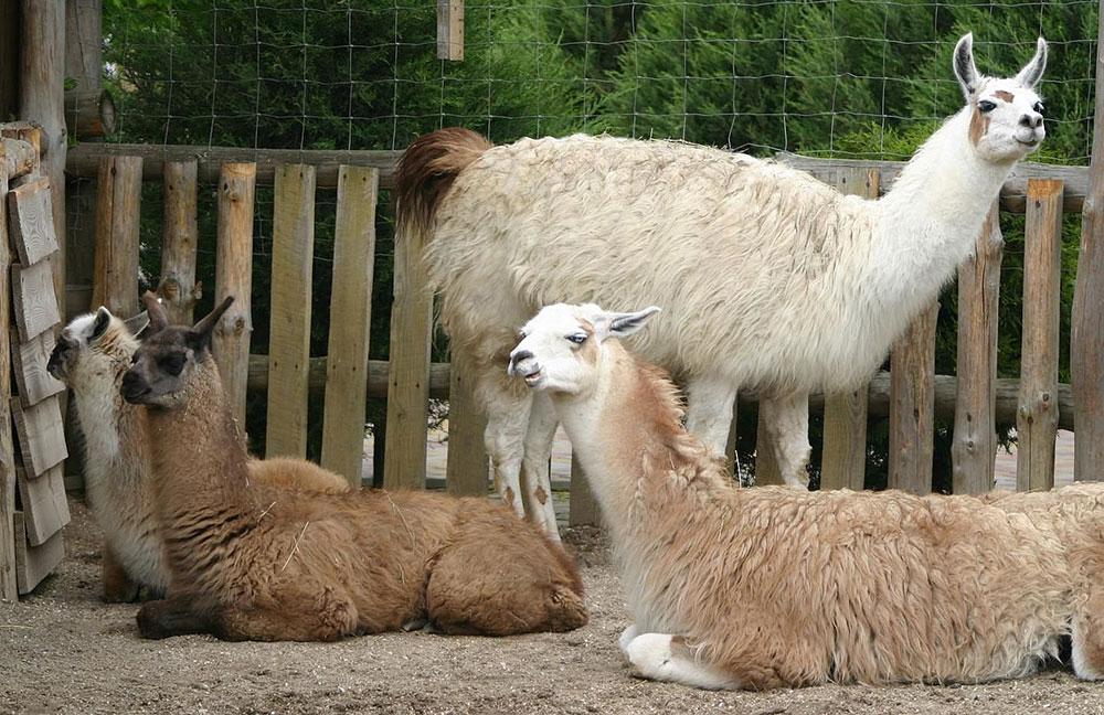 Animal Park – Лама