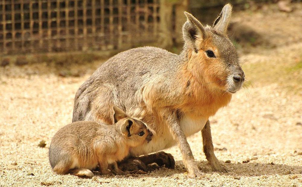 Animal Park – Патагонська мара