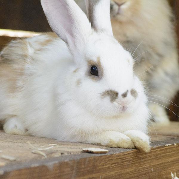 Кролики карликові