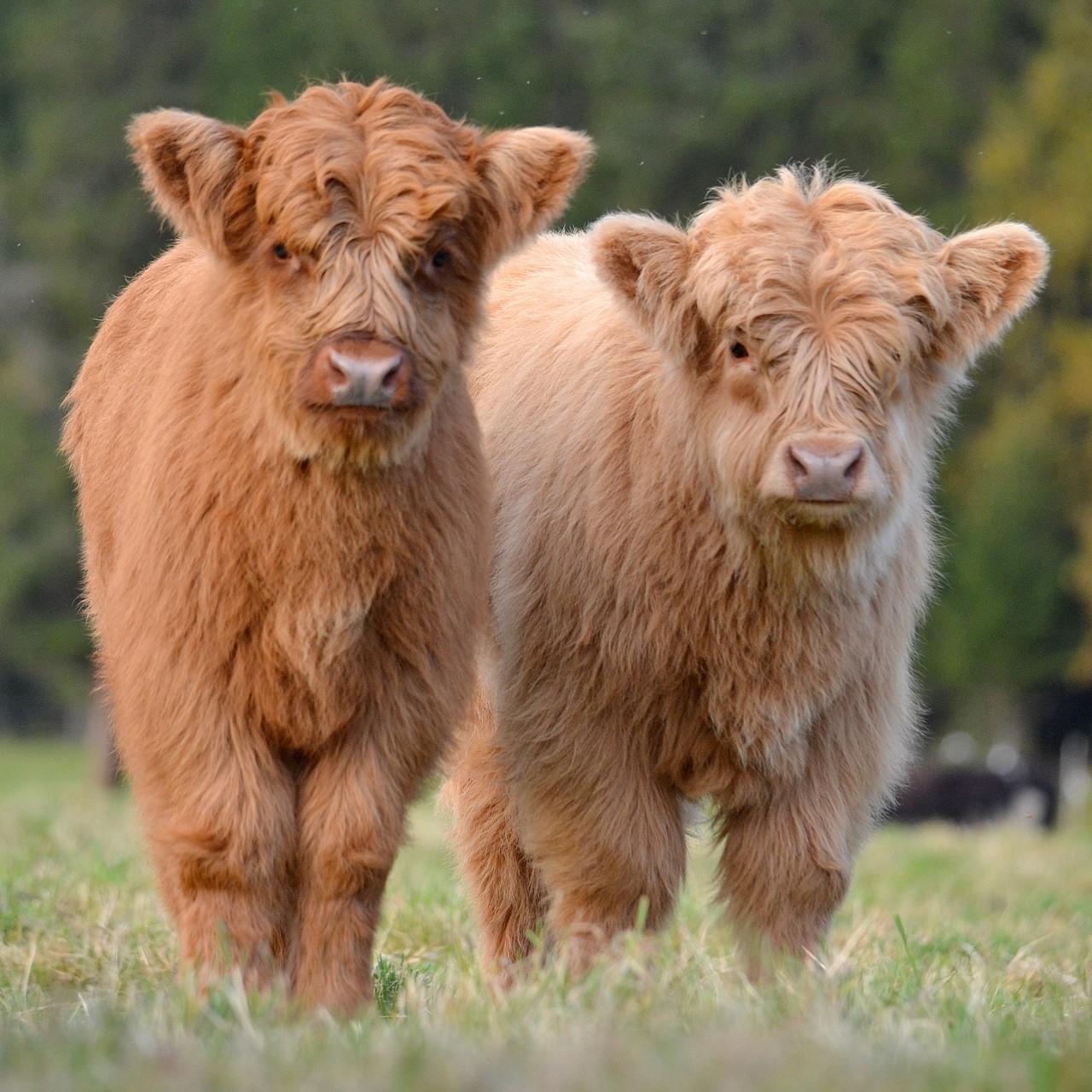 Шотландські корови